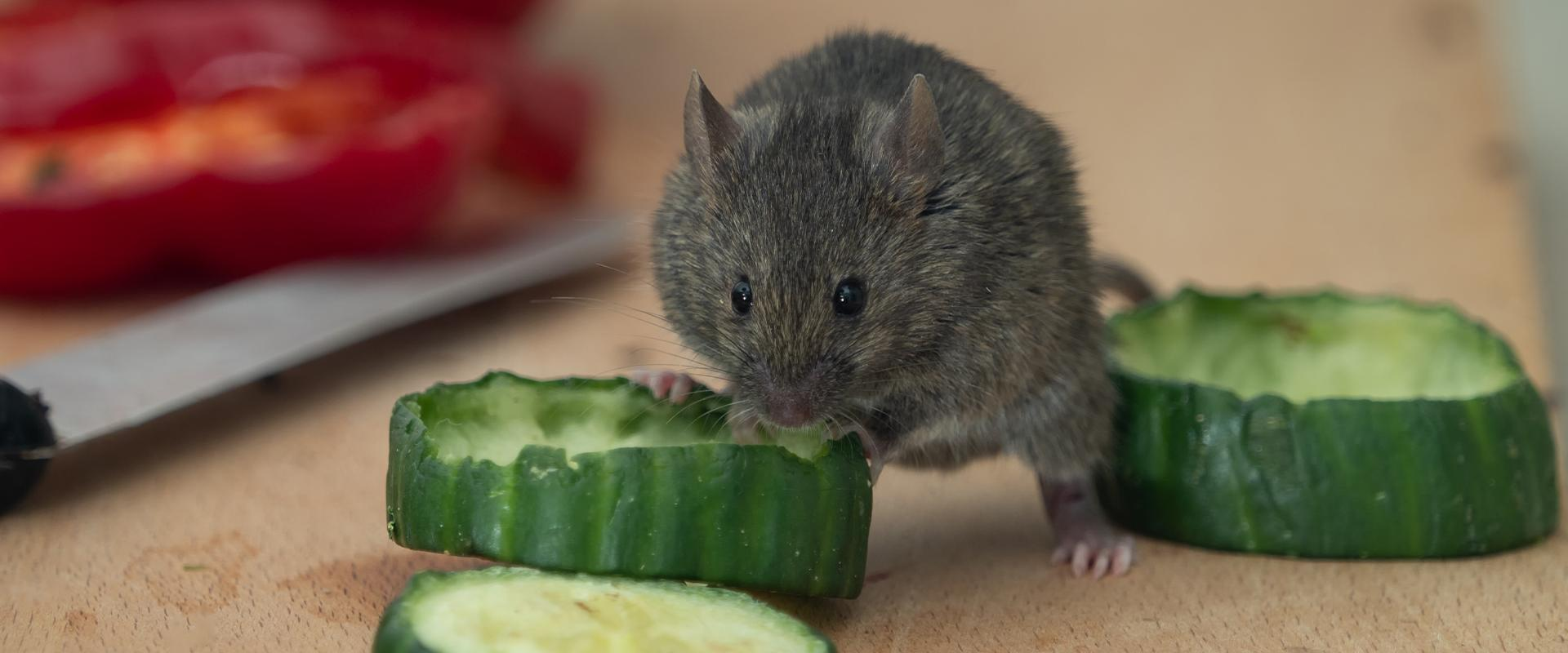 mice eating vegetable in fayetteville georgia