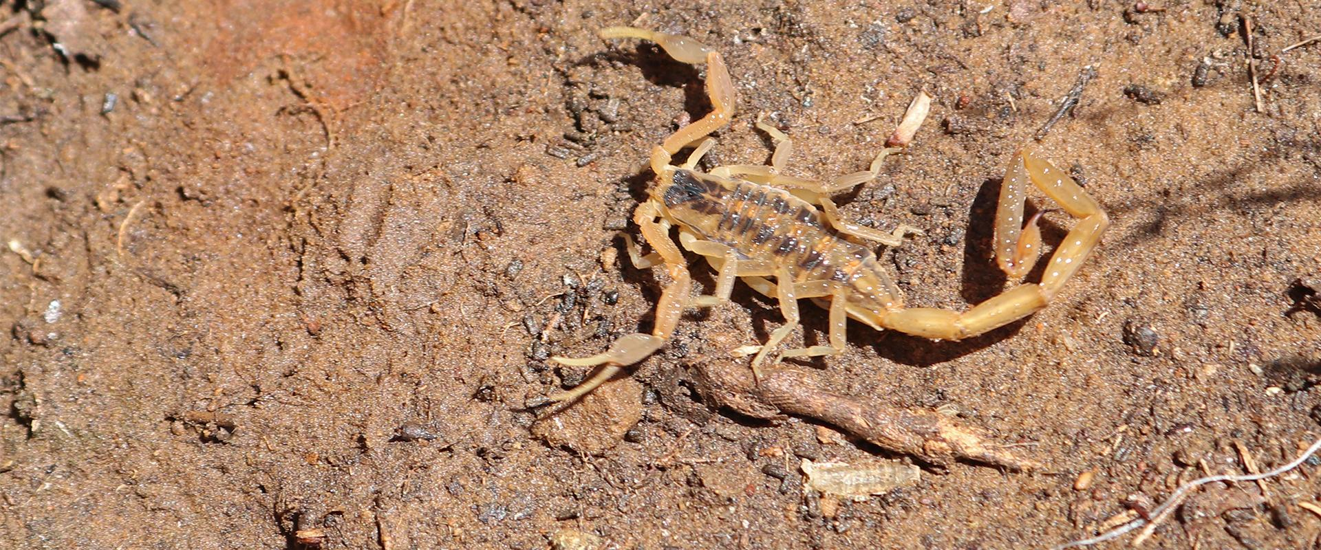 a scorpion in the dirt in fayetteville georgia