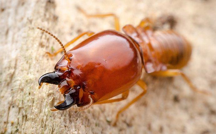 close up of a termite in fayetteville georgia