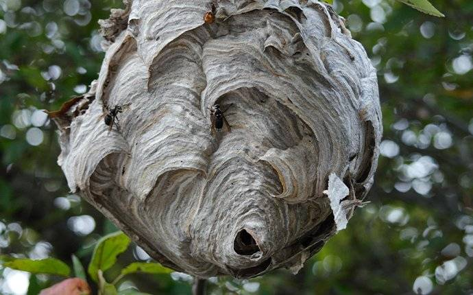 a big wasp nest in a tree