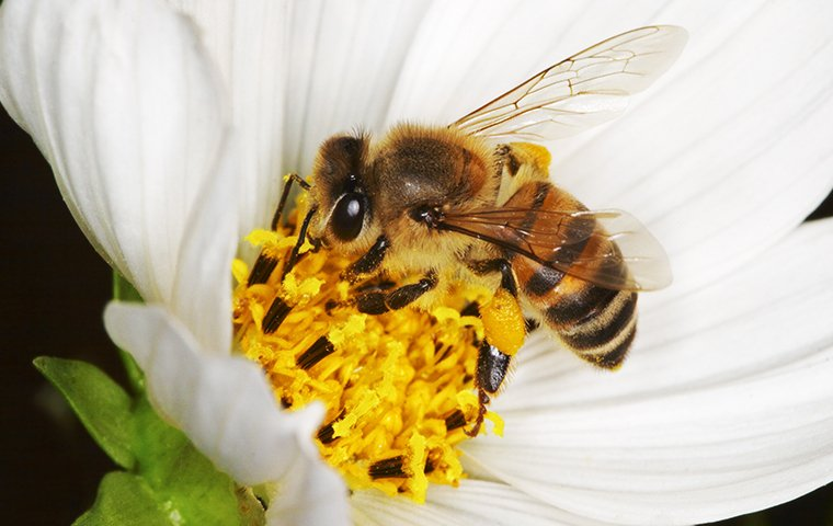 a bee pollinating a white flower