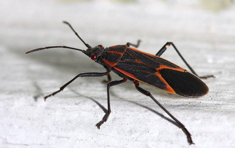 a boxelder bug