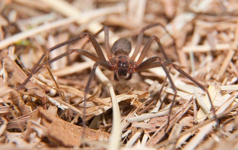 a spider in mulch